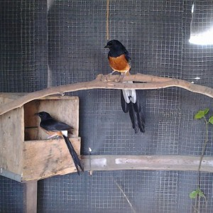 Mengoptimalkan Testosteron Pada Burung Kicau