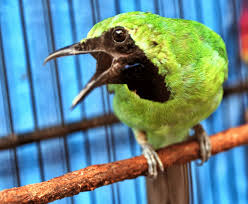 Rawatan Burung Cucak Hijau Agar Cepat Gacor dan Ngentrok