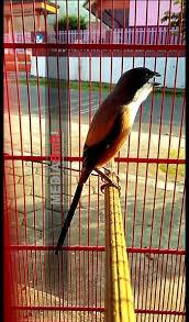 Perawatan Harian Cendet Setelah Ngurak Mabung Klinik Burung